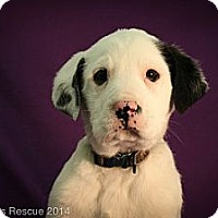 Adopt A Pet :: Mr. Gump - Broomfield, CO