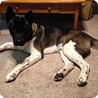 Adopt A Pet :: Hachi, Courtesy Post - Toms River, NJ
