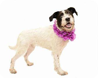 Standard Schnauzer/Border Collie Mix Dog for adoption in Deltona, Florida - Daphne