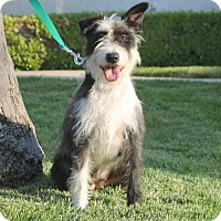 Adopt A Pet :: Betty Boop - Palo Alto, CA