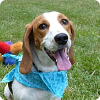 Adopt A Pet :: Callisto - Mocksville, NC
