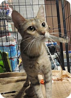 Domestic Shorthair Cat for adoption in Sullivan, Missouri - Clove