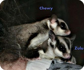 Sugar Glider for adoption in Walker, Louisiana - Zulu