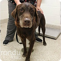 Adopt A Pet :: Rondu - Purcellville, VA