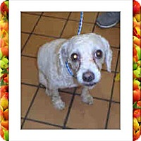 Bichon Frise Dog for adoption in Tulsa, Oklahoma - Trixie - IL