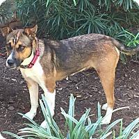 Adopt A Pet :: Callie - Charlotte, NC