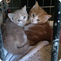 Domestic Shorthair Kitten for adoption in Delmont, Pennsylvania - Emory