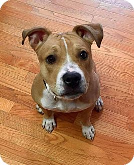 Pit Bull Terrier Mix Dog for adoption in Dayton, Ohio - Jolly