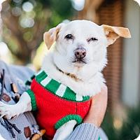 Dachshund/Corgi Mix Dog for adoption in Los Angeles, California - Peanut