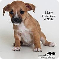 Adopt A Pet :: Maple  (Foster Care) - Baton Rouge, LA