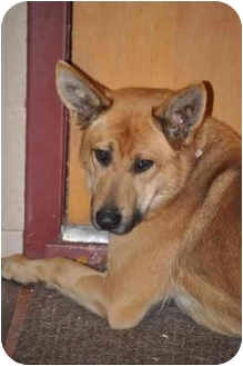 German Shepherd Dog/Basenji Mix Dog for adoption in Hamilton, Montana - Riggs