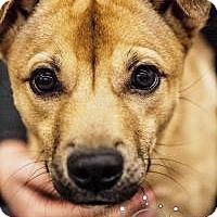Adopt A Pet :: Peppy - Minneapolis, MN