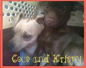 Rat Terrier/Irish Terrier Mix Dog for adoption in Fresno, California - Krispy