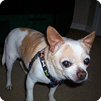 Chihuahua Mix Dog for adoption in Tampa, Florida - CASH AKA PeeWee (LM)