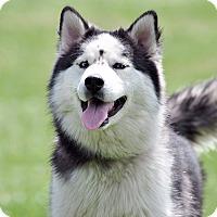 Adopt A Pet :: Tahoe - Horsham, PA