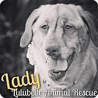 Adopt A Pet :: Lady - Phoenix, AZ
