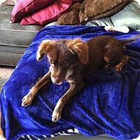 Adopt A Pet :: Gypsy - Irving, TX