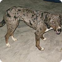 Australian Shepherd/Terrier (Unknown Type, Small) Mix Dog for adoption in Johnston, Iowa - Annie (Courtesy Post)
