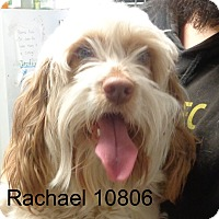 Adopt A Pet :: Rachael - baltimore, MD