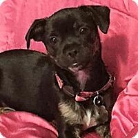 Adopt A Pet :: Darcy - Santa Monica, CA