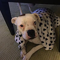 Boxer Dog for adoption in Las Vegas, Nevada - Lulu