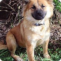 Adopt A Pet :: LUCINDA - Westminster, CO