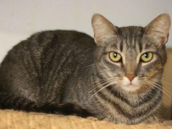 Domestic Shorthair Cat for adoption in Canoga Park, California - Pecan