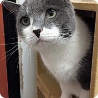 Domestic Shorthair Cat for adoption in Herndon, Virginia - Olivia