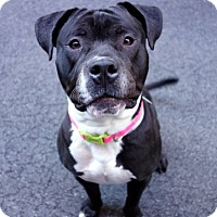 Adopt A Pet :: Oak - Manhattan, NY
