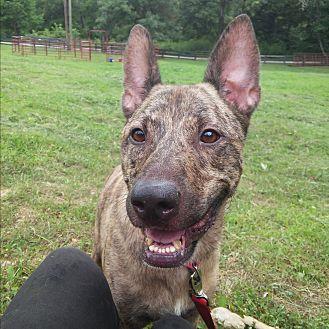 Dutch Shepherd/German Shepherd Dog Mix Dog for adoption in Louisville, Kentucky - Becker
