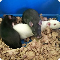 Rat for adoption in Cambridge, Ontario - Baby Rats