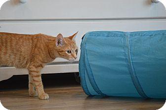 Domestic Shorthair Kitten for adoption in St. Charles, Missouri - Cora