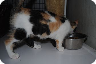 Calico Kitten for adoption in Bay City, Michigan - Autumn