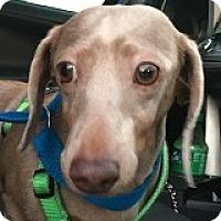 Adopt A Pet :: Cami Cameo - Houston, TX