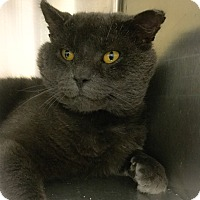 Adopt A Pet :: Bagheera - Webster, MA