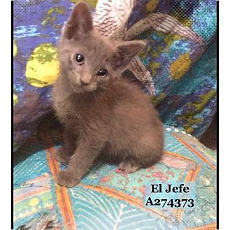 Domestic Mediumhair Cat for adoption in Conroe, Texas - EL JEFE