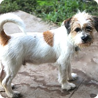 Jack Russell Terrier Mix Dog for adoption in Bedminster, New Jersey - Skipper - MEET ME