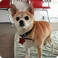 Chihuahua Mix Dog for adoption in Seattle, Washington - Mischa