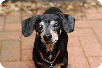 Dachshund Dog for adoption in Dallas, Texas - Noel