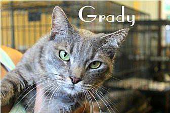 Domestic Mediumhair Cat for adoption in Wichita Falls, Texas - Grady