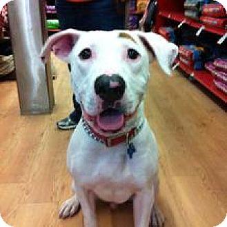 Labrador Retriever Mix Dog for adoption in Birmingham, Michigan - HERSCHEL