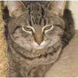 Photo 1 - Domestic Shorthair Cat for adoption in Milwaukee, Wisconsin - Spotty Muldoon