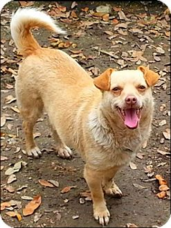 Chihuahua Mix Dog for adoption in Huntington, New York - Dulles - N
