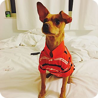 Miniature Pinscher Mix Dog for adoption in San Francisco, California - Mac