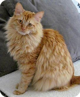 Domestic Longhair Cat for adoption in Santa Ana, California - Mimolette