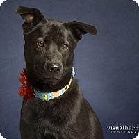 Adopt A Pet :: Sarah - Chandler, AZ