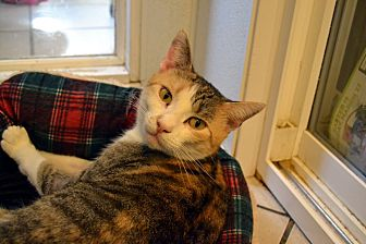 Domestic Shorthair Cat for adoption in Broadway, New Jersey - Ivy