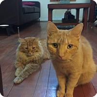 Adopt A Pet :: Rusty & Bo- Best Feline Friend - Arlington, VA