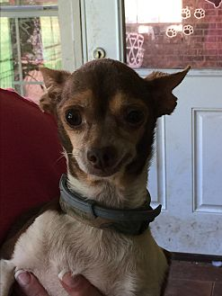 Chihuahua Dog for adoption in Blanchard, Oklahoma - Tanza