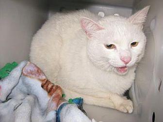 Domestic Shorthair Cat for adoption in Roseville, California - Penelope